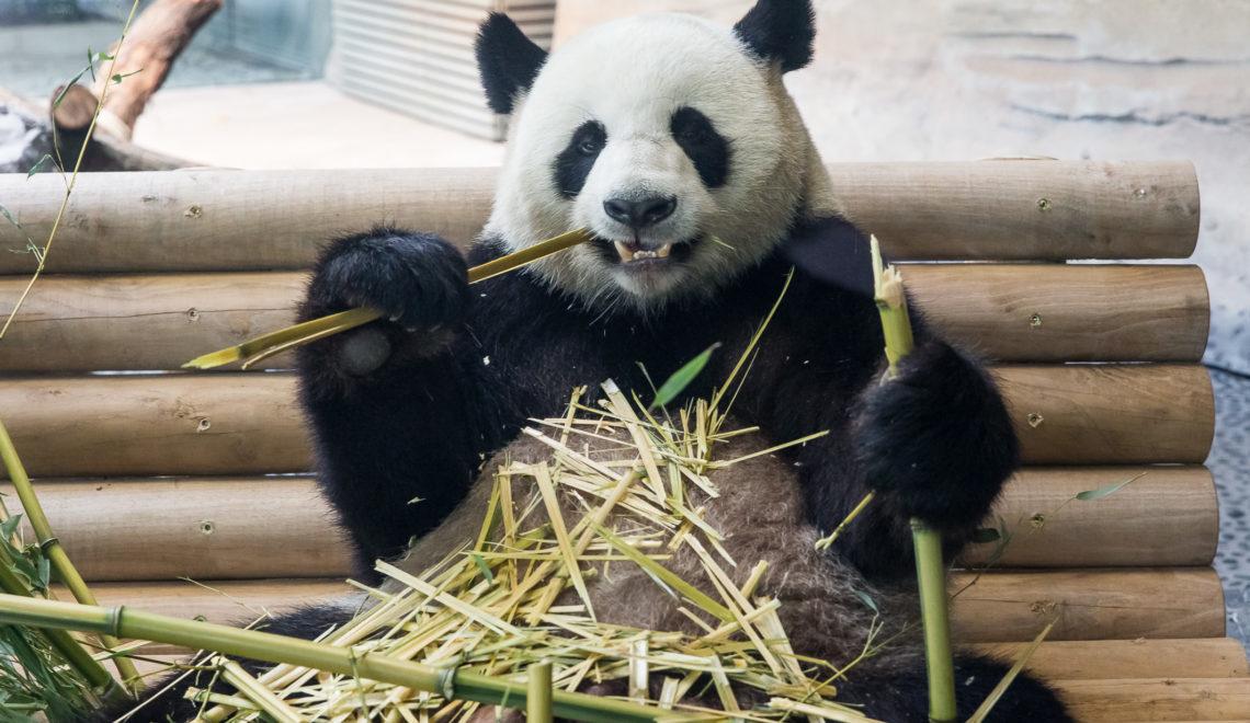 JiaoQing_EröffnungPandaGarden_ZooBerlin2017